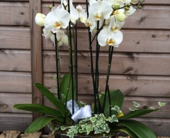 Orchid Planter F